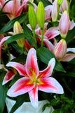 Orientalisk lilja och knoppar Royaltyfria Bilder