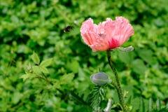 Orientalisk Poppy Papaver Orientale `-Cedric Morris ` och flygbi Arkivfoto
