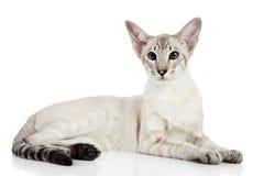 orientalisk punkt för blå katt Fotografering för Bildbyråer