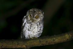 Orientalisk Scops Owl Otus sunia Royaltyfria Bilder