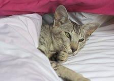 orientalisk shorthair för katt Arkivbilder