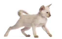 Orientalisk Shorthair kattunge, 9 gammala som veckor går Royaltyfria Bilder