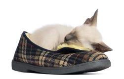 Orientalisk Shorthair kattunge, 9 gammala som veckor ligger Arkivbilder