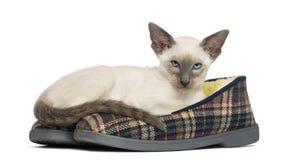 Orientalisk Shorthair kattunge, 9 gammala som veckor ligger Royaltyfri Foto