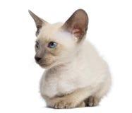 Orientalisk Shorthair kattunge, 9 gammala som veckor ligger Fotografering för Bildbyråer