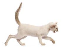 Orientalisk Shorthair kattunge, 9 gammala veckor, running Arkivbilder