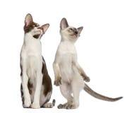 Orientalisk Shorthair vuxen sitting och kattunge Arkivfoton