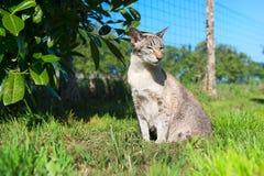 Orientalisk shorthairkatt som är utomhus- i natur royaltyfri foto