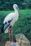 orientalisk storkwhite Royaltyfri Bild