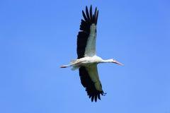 orientalisk storkwhite för ciconia Fotografering för Bildbyråer