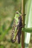 Orientalisk utvandrande gräshoppa Royaltyfri Fotografi