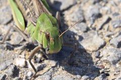 Orientalisk utvandrande gräshoppa Royaltyfria Bilder