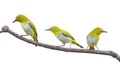 Orientalisk Vit-öga fågel Fotografering för Bildbyråer