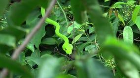 Orientalisk Whip Snake Ahaetulla prasina på trädfilial arkivfilmer