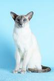 Orientaliska blåa ögon för siamese katt som sitter ljus - blå bakgrund Royaltyfri Fotografi