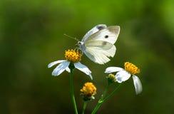 Orientaliska fjärilar Fotografering för Bildbyråer