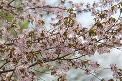 Orientaliska körsbär sakura i den tidiga våren Fotografering för Bildbyråer