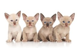 Orientaliska kattungar mot vit bakgrund Royaltyfri Foto