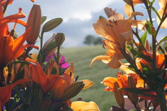 Orientaliska Lillies mot bygdbakgrund Fotografering för Bildbyråer