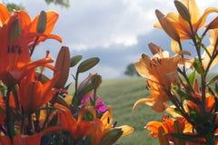 Orientaliska Lillies mot bygdbakgrund royaltyfri foto