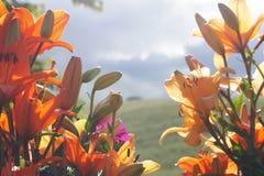 Orientaliska Lillies mot bygdbakgrund Arkivfoton