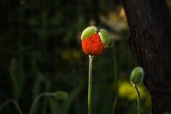 Orientaliska Poppy Coming Out Royaltyfri Fotografi