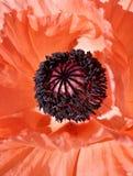 Orientaliska Poppy Flower Detail Royaltyfri Foto