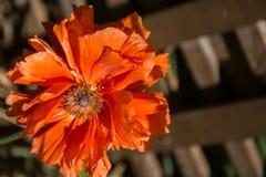Orientaliska Poppy Vivid Orange Single Flower Royaltyfria Bilder