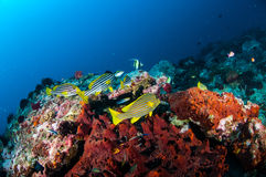 Orientaliska sweetlips, bandsweetlips simmar i Gili, Lombok, Nusa Tenggara Barat, Indonesien det undervattens- fotoet Arkivbilder