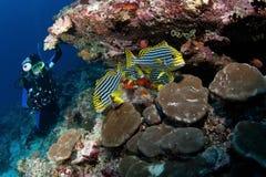 Orientaliska sweetlips för dykarewatch, Maldiverna Royaltyfri Bild