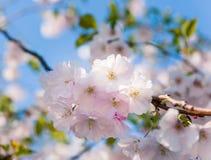 orientaliskt blomningCherry Arkivfoto