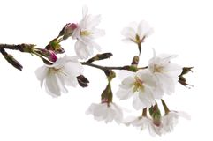 orientaliskt blomningCherry Arkivbilder