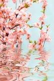 orientaliskt Cherry Arkivfoton