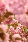 orientaliskt Cherry Royaltyfri Foto