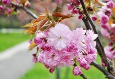 Orientaliskt Cherry i springtime Royaltyfri Fotografi