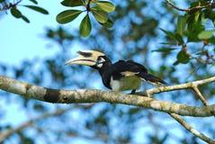 orientaliskt pied för hornbill Royaltyfria Foton