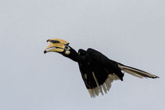 orientaliskt pied för hornbill Royaltyfria Bilder