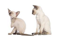 Orientaliskt skrapa för Shorthair kattunge Arkivfoto