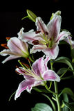 Orientalna leluja, Lilium cernuum Zdjęcie Royalty Free