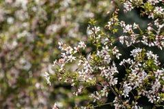 Orientalna wiśnia w wiośnie Zdjęcia Stock