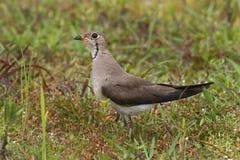 Orientalnego Pratincole Glareola maldivarum Piękni ptaki Tajlandia Obraz Royalty Free