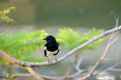 Orientalnego sroka rudzika ptasi obsiadanie na tropikalnej gałąź przy parkiem fotografia royalty free