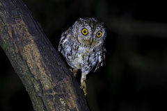 Orientalni sowy Otus sunia ptaki przy nocą Fotografia Stock
