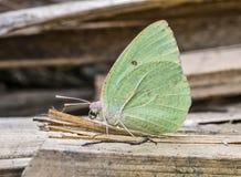 Orientalny Żyłkowany Emigrancki motyl: Odpoczywać na wysuszonych traw słoma Obraz Stock