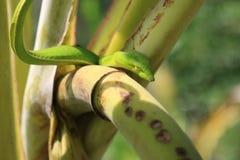 Orientalny bata wąż Fotografia Stock