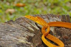 Orientalny bata węża Ahaetulla prasina Żółtego złota Colour Zdjęcie Stock