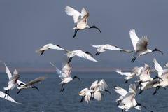 Orientalny biały ibis Fotografia Royalty Free