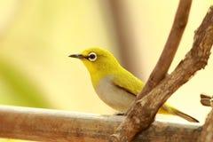 Orientalny Biały oko ptak Fotografia Stock