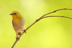 Orientalny Biały oko ptak Fotografia Royalty Free