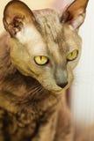 Orientalny kot z dużymi żółtymi oczami Obrazy Royalty Free